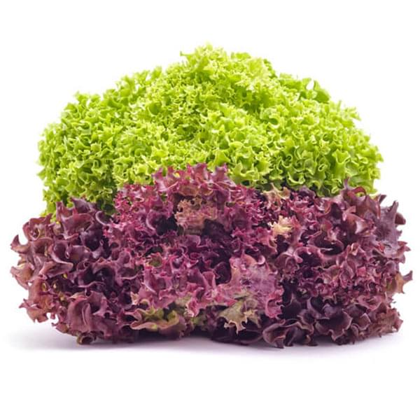 Red lettuce and green lettuce grown in the hydroponics farm of urban kisaan in                 hyderabad